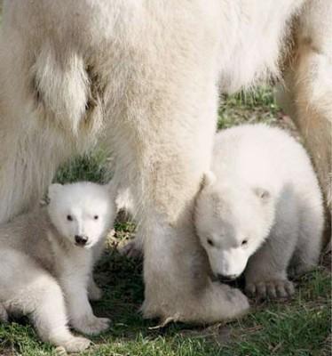 Netherland's Polar Bears File Photo