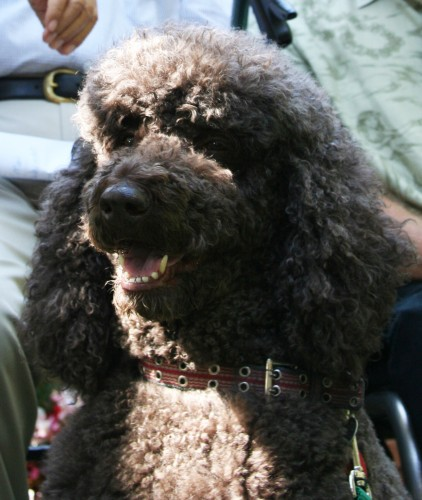 The Poodle Of Ryan Murphy's Obsession.  Photo: ACLU